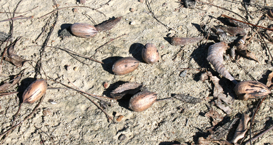 Pecans on the ground in an orchard on the University of Georgia Tifton campus.