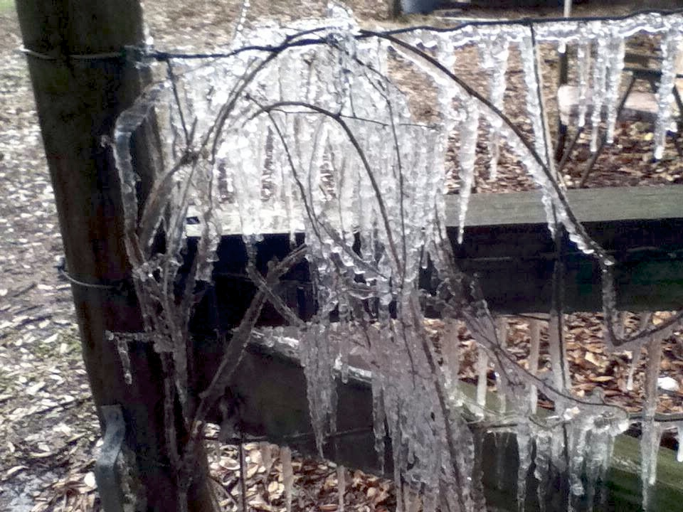 Ice formed on a fence and small seedling in Thalman, Ga., just outside Brunswick, as a result of the winter cold snap that hit Georgia on Jan. 6 and 7, 2014.