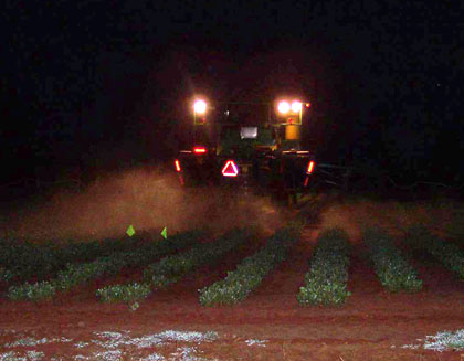 Nighttime spraying is recommended by UGA plant pathologists in treating peanuts for white mold disease.
