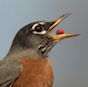 The Great Backyard Bird Count - American Robin