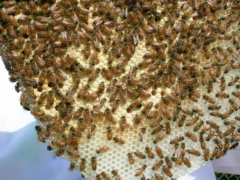 First-year honey bees from the hive of backyard beekeeper Calvin King of Albany.
