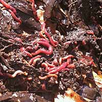 Earthworms in a healthy compost bin in middle Georgia.