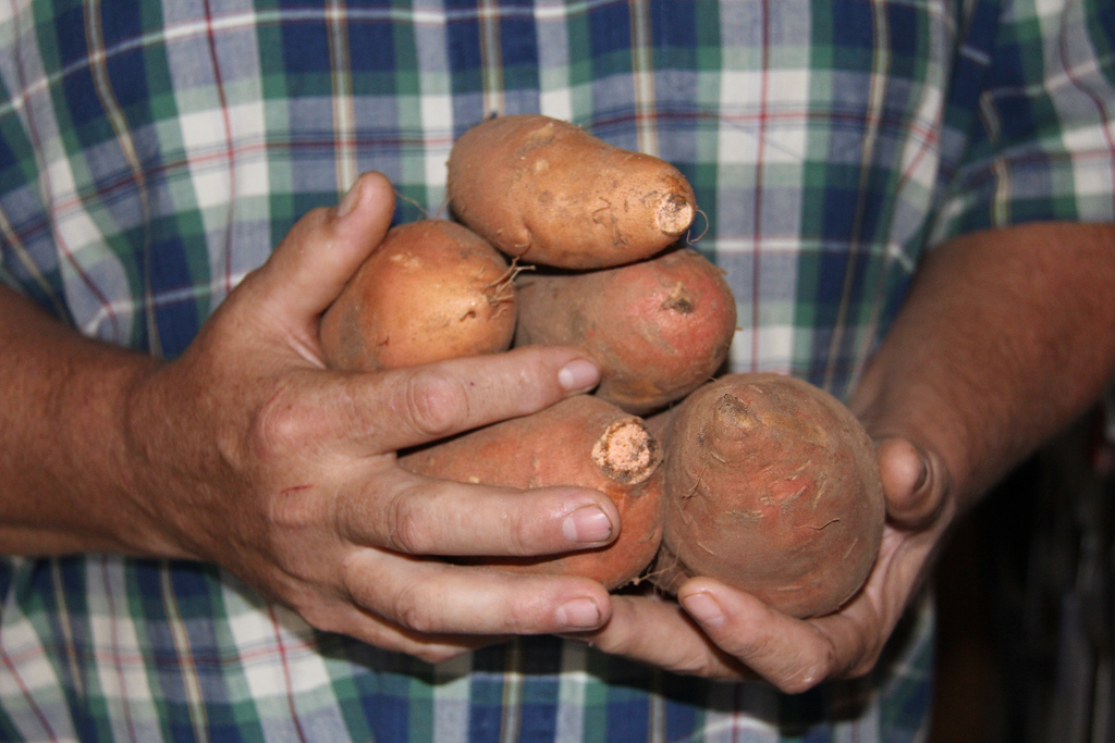 In Georgia, backyard gardeners should wait until all fear of frost has passed before planting sweet potatoes. Irish potatoes can be planted earlier.