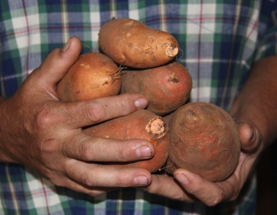 Sweet potatoes harvested from a backyard garden in Butts County, Ga.