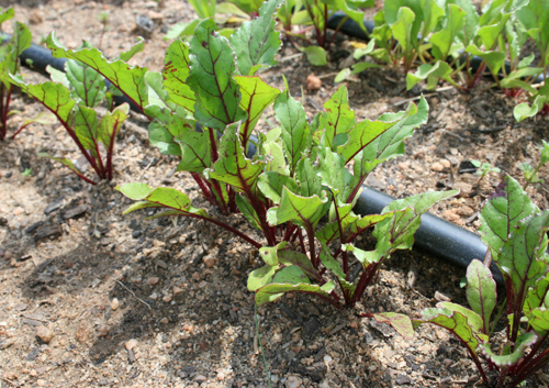 Drip irrigation helps to keep soil and water from splashing on plants leaves, which helps cut down on plant disease.