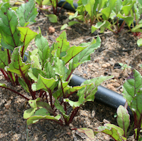 Drip irrigation systems keep moisture near plant roots and away from the leaves. Prolonged wet leaves can create perfect conditions for disease.