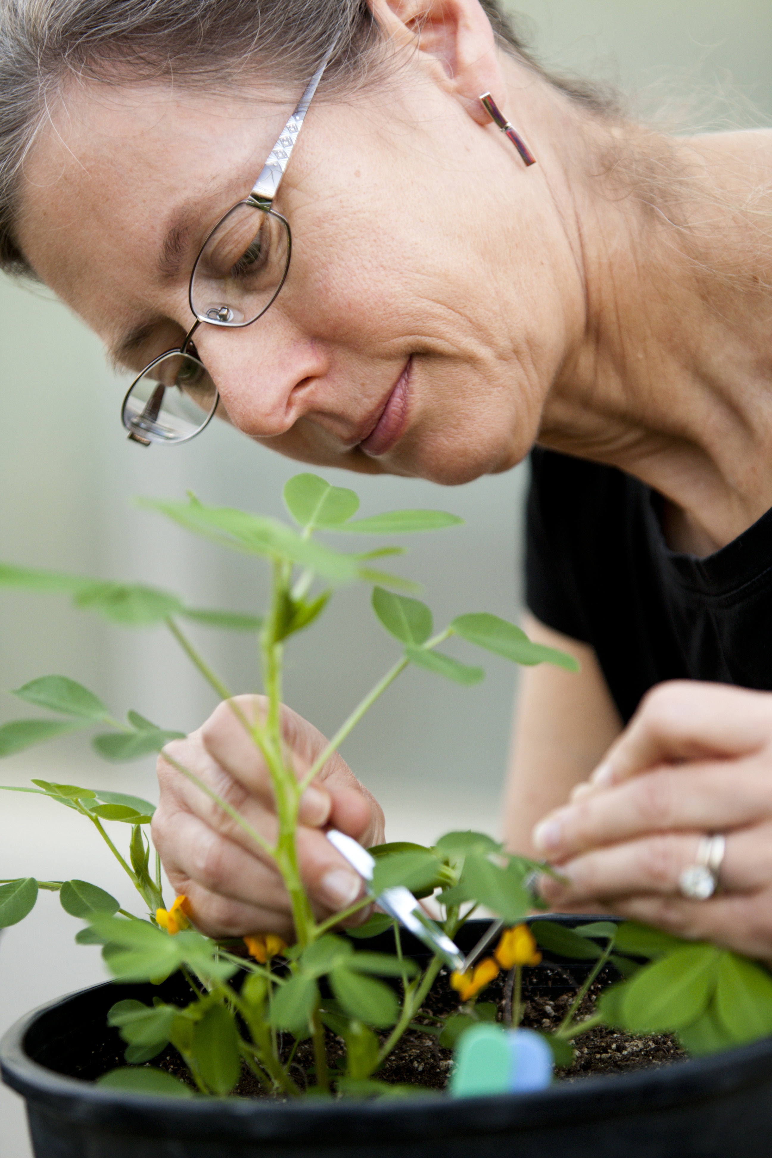 UGA peanut geneticist Peggy Ozias-Akins, director of the UGA Institute of Plant Breeding, Genetics and Genomics, examines a peanut blossom. Ozias-Akin's lab on the UGA Tifton Campus focuses on female reproduction and gene transfer in plants.