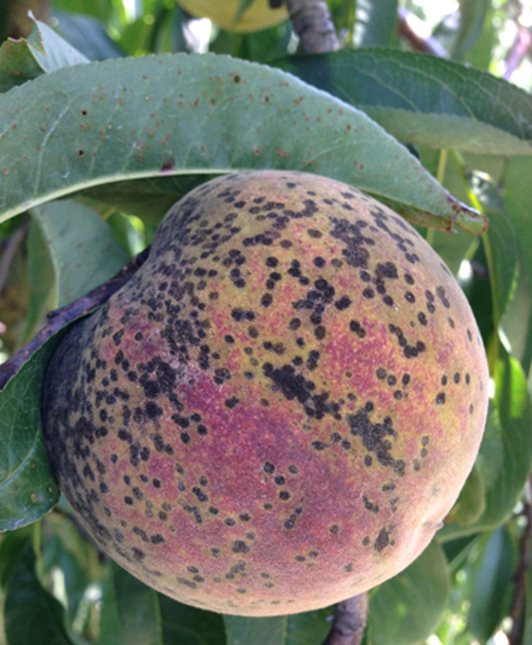 Scab disease in peaches thrives during a wet growing season.