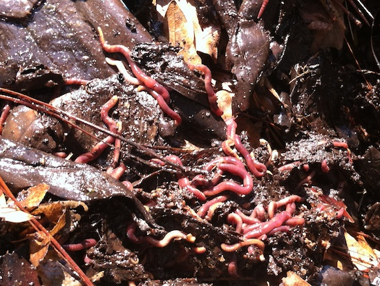 Earthworms burrow through a compost pile in Butts County, Ga.