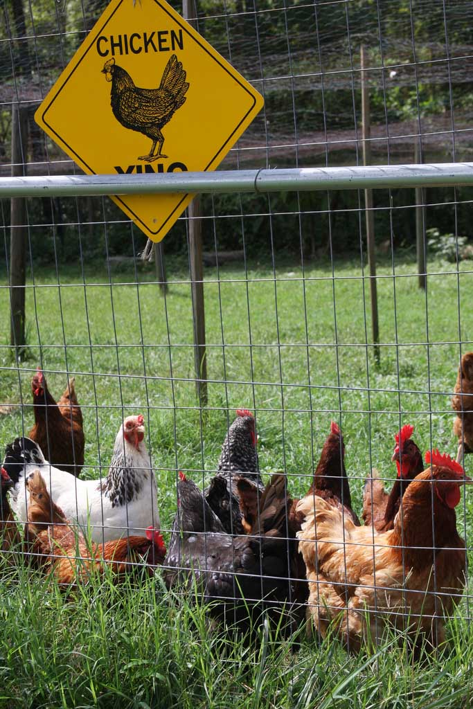 Chicken Crossing