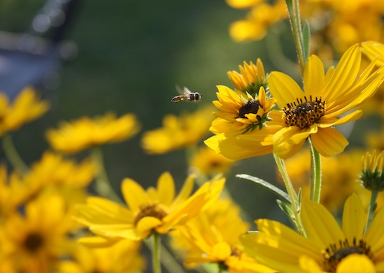 A syrphid or flower fly hovers over a swamp sunflower bloom. The tiny insect is sometimes called a hover fly because its flight pattern resembles that of a hovering hummingbird.