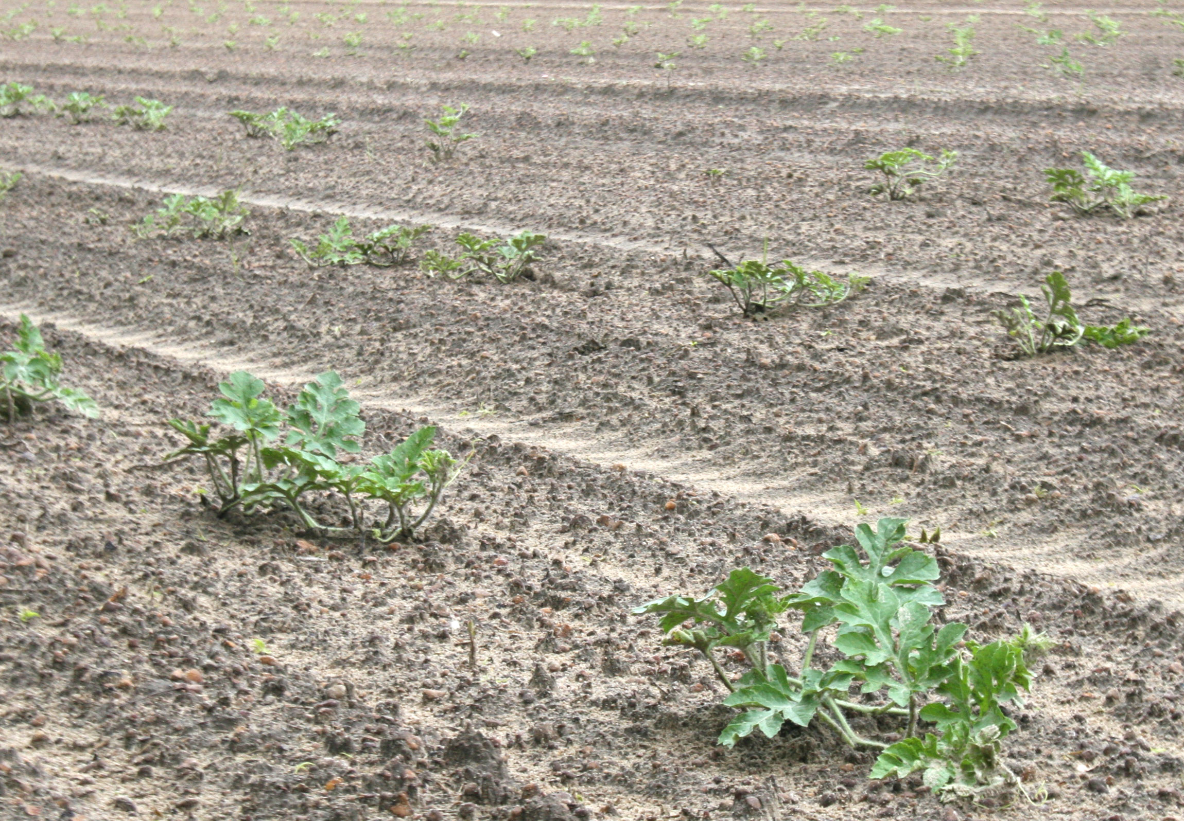 A field of watermelon plants in Ty Ty, Ga. is pictured on Wednesday, April 30. The plants were planted on March 28.