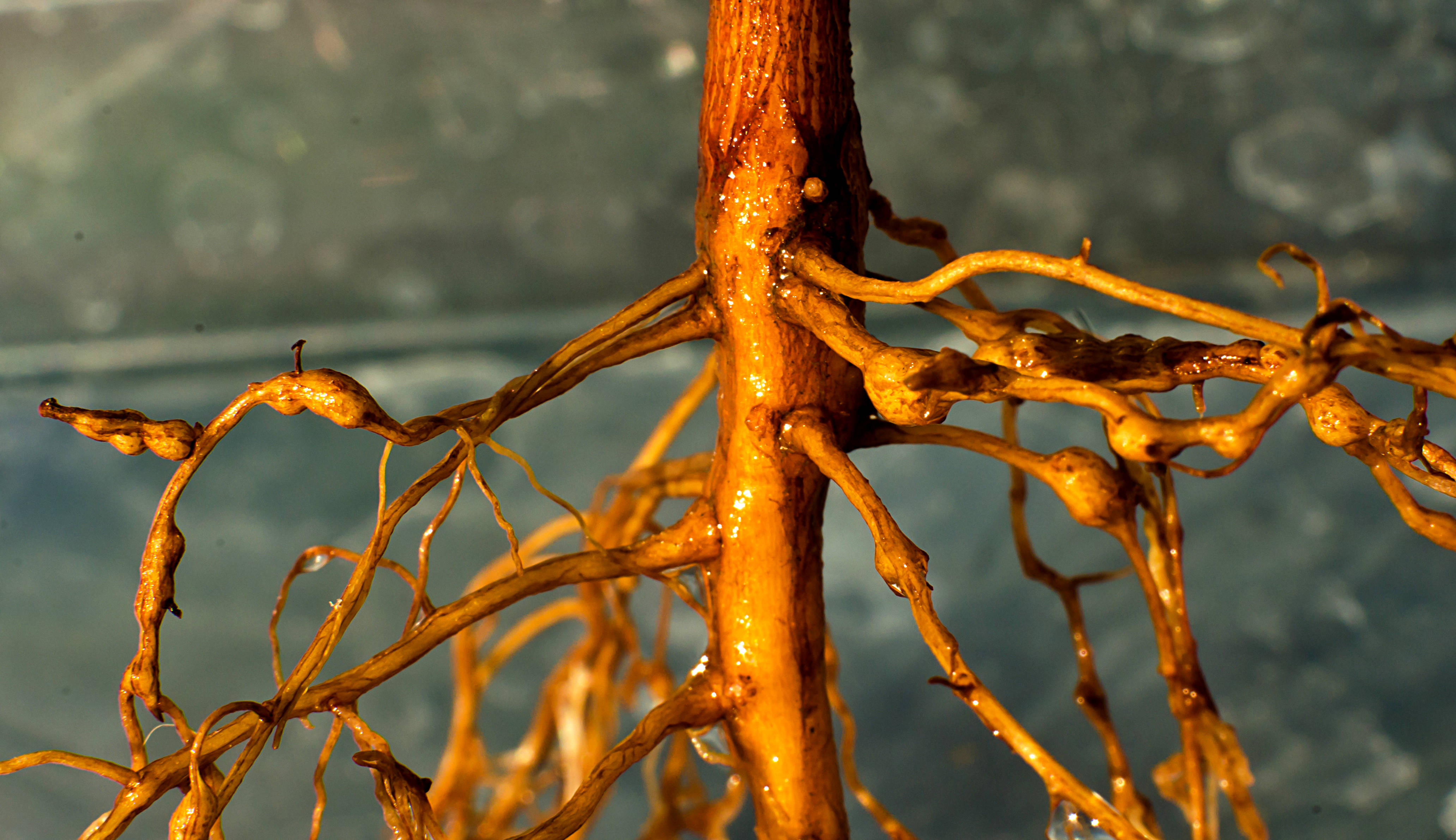 Cotton roots infected with root-knot nematodes swell in response to the infection. These knots serve as feeding sites where nematodes (microscopic worms) grow, produce more eggs and stunt the plant's growth.