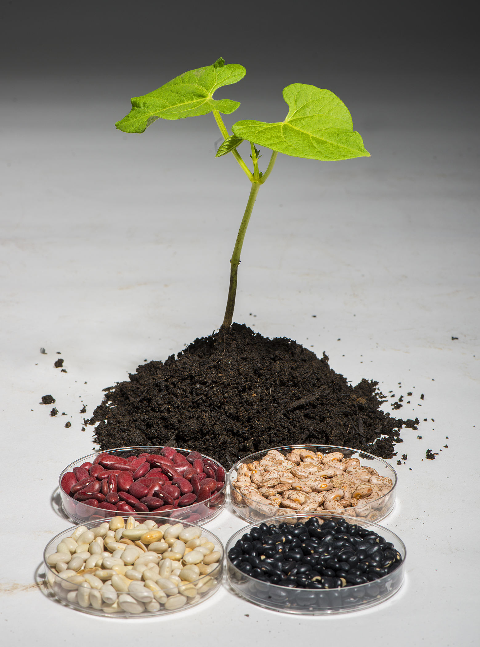 A common bean plant sits in the middle of a variety of dried beans.