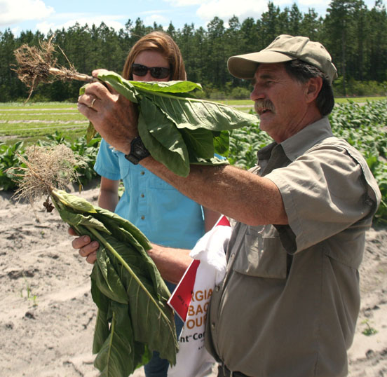 Alex Csinos, a University of Georgia scientist based in Tifton, holds up a pair of tobacco plants during a tobacco tour on the UGA Tifton Campus on June 10, 2014. Csinos shows nematode damage on a tobacco plant.