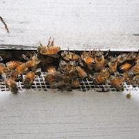 While bee populations have been declining for the past several decades, urban beekeeping and public awareness of pollinators are on the rise.