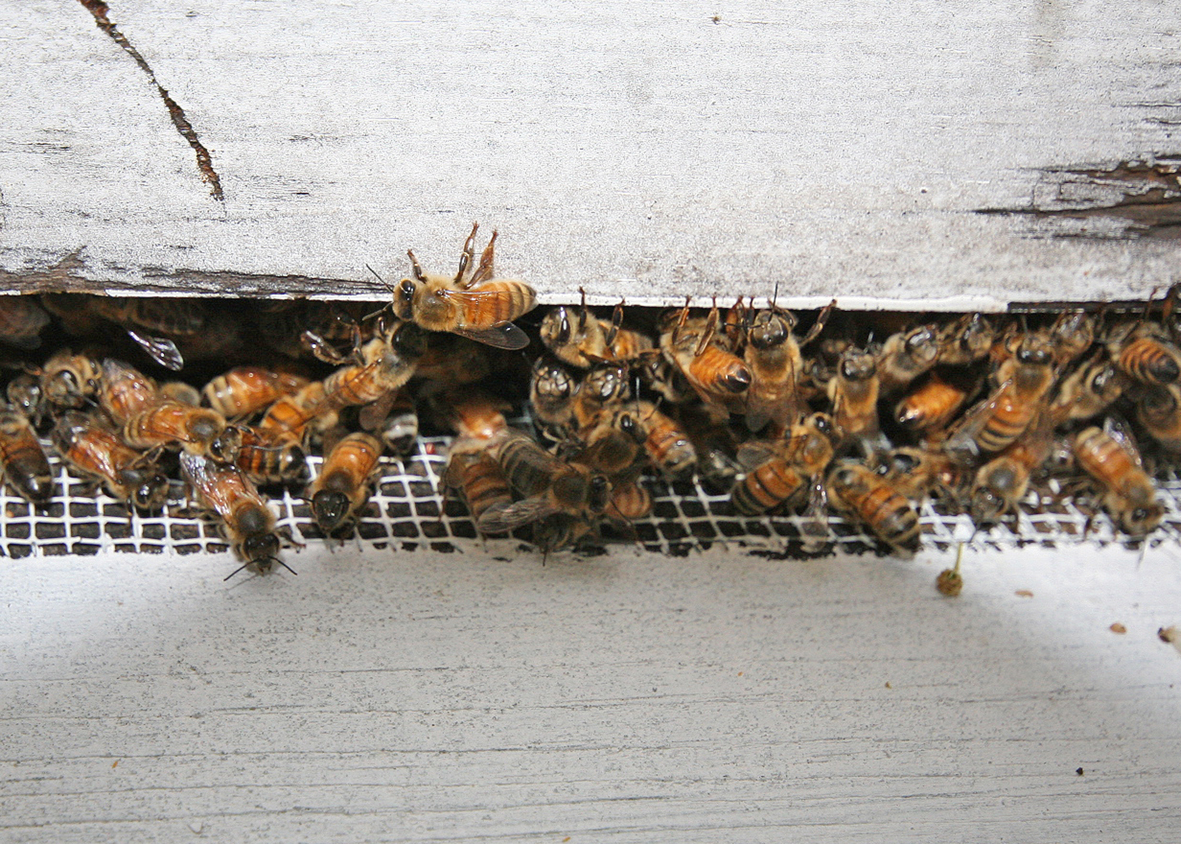 While bee populations have been declining for the past several decades, urban beekeeping and public awareness of pollinators is increasing.