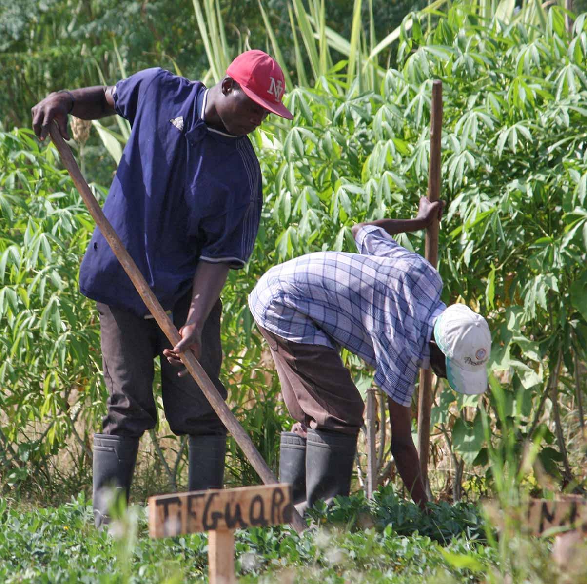 Haiti Farmers TifGuard Peanuts