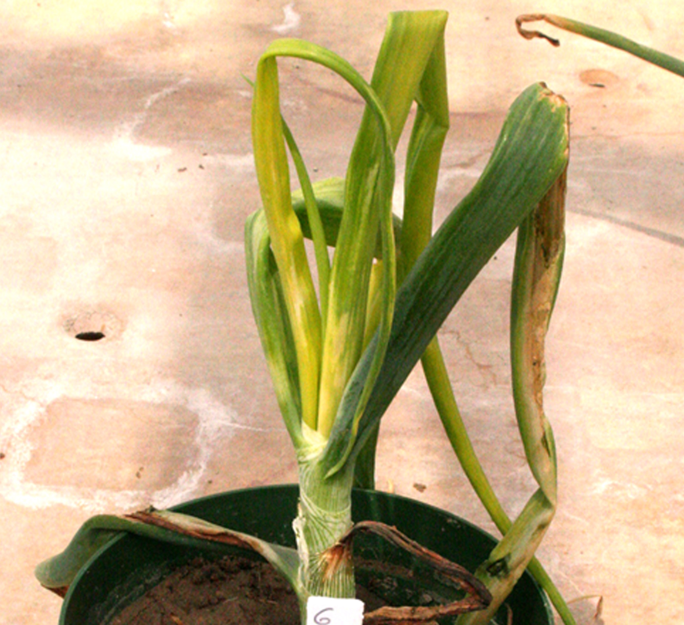 Pictured is an onion plant infected with yellow bud disease.