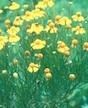 Summer is not the perfect time to tackle weeds in pastures, but it is the perfect time to make note of them. One common pasture weed is bitter sneezeweed. The annual is known for its yellow flowers, pungent odor and bitter taste. It reproduces by seed.