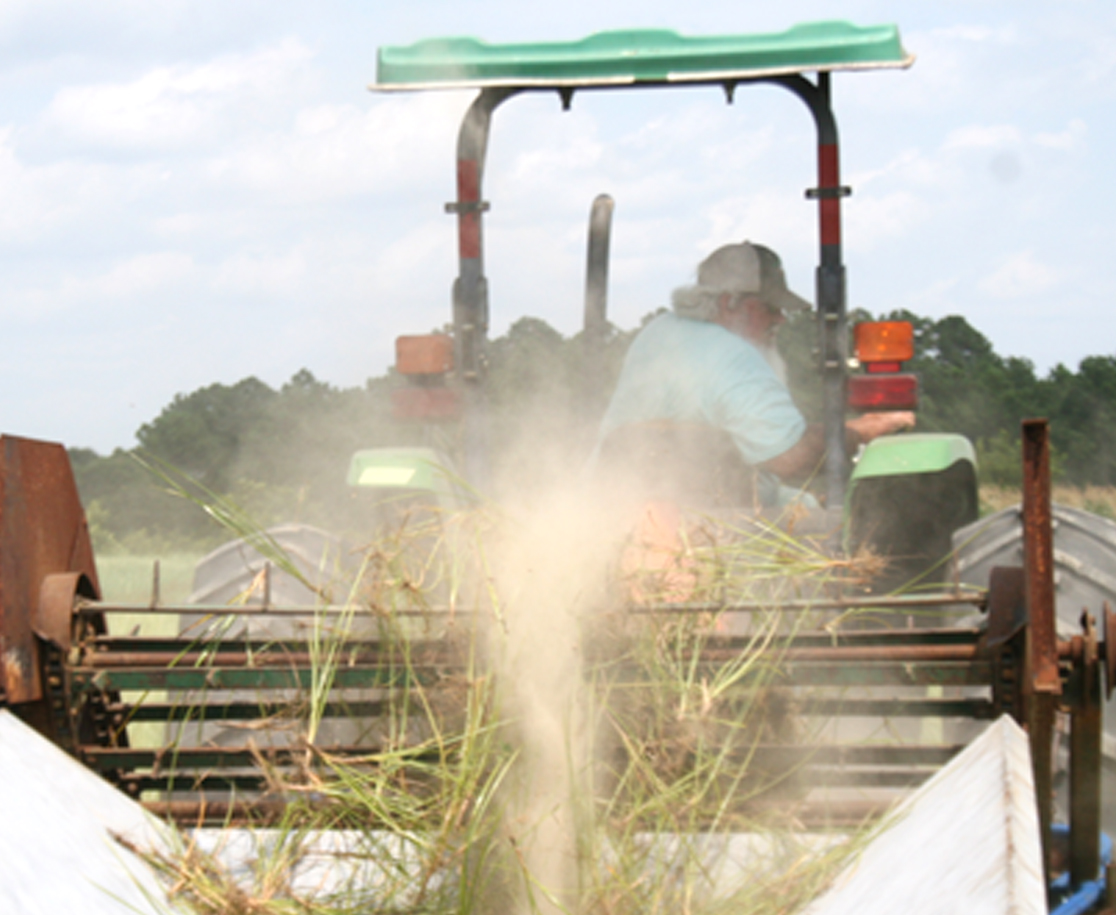 Nutsedge gets dug up during a demonstration of a peanut digger being used to uproot the weed at the UGA Ponder Farm.