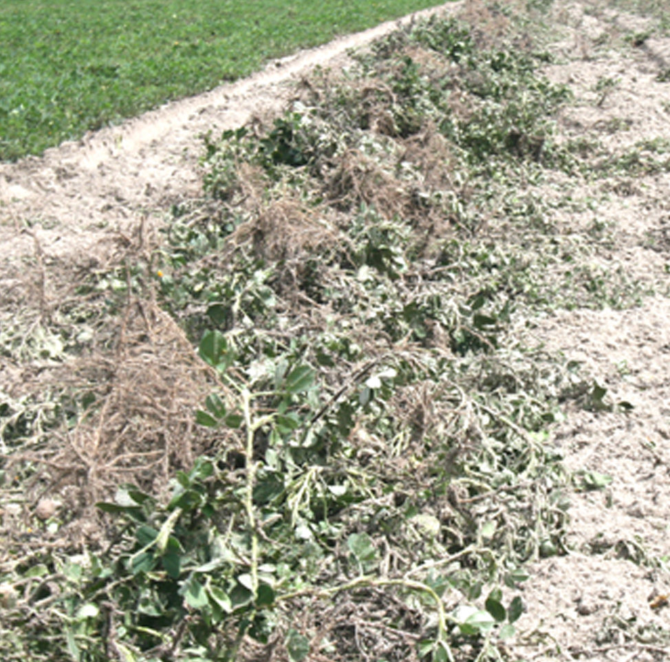 Pictured are dug up peanut plants on a dry land peanut field in east Tift County on Tuesday, Sept. 9, 2014.