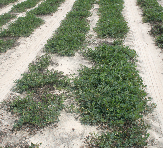 Pictured is a dry land peanut field in east Tift County on Tuesday, Sept. 9, 2014.