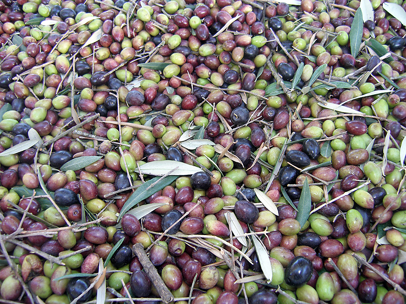 The United States imports 99 percent of its olive oil from other countries, 76 million gallons in 2008. Georgia farmers are hoping to provide some of that oil.