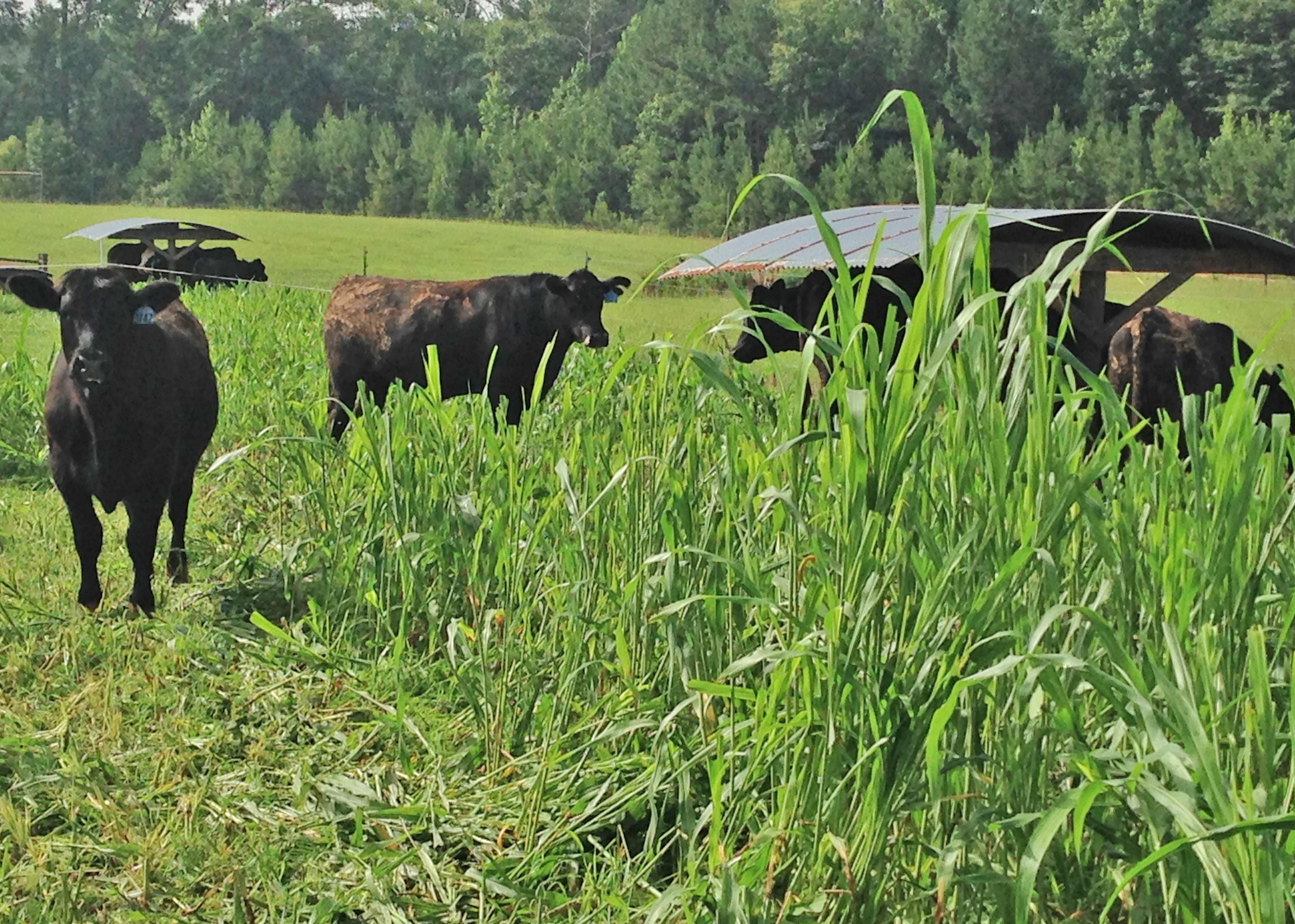 Steers graze on sorghum/sudangrass hybrid forage at the UGA Eatonton Beef Research Unit as part of a 2014 study on grass-finished beef forages.