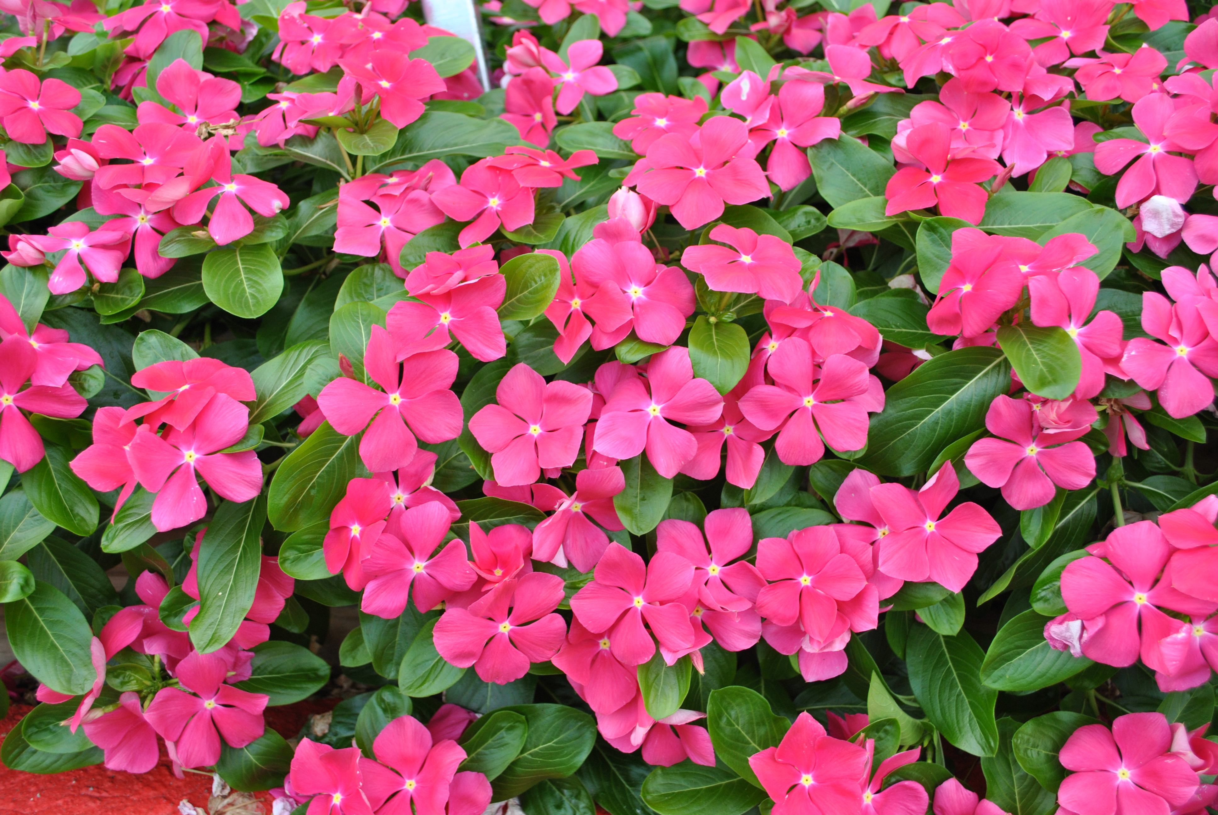 """We had 14 colors of the Cora series of Catharanthus this summer and every one of them has had outstanding performance. The plants were consistent in height and floriferousness. All tolerated the heat, humidity and irregular rains quite well."""