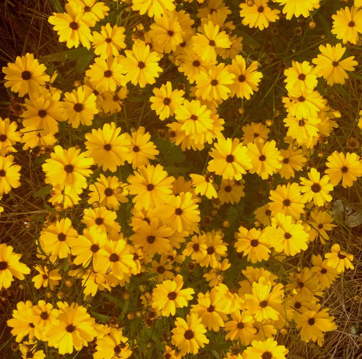 """'Sunshine Suzy' is not a loud plant that begs for attention, but more of a quiet surprise. The plants were compact, but airy and were constantly in nickel-sized yellow flowers. Month after month, 'Sunshine Suzy' excelled in our climate."""
