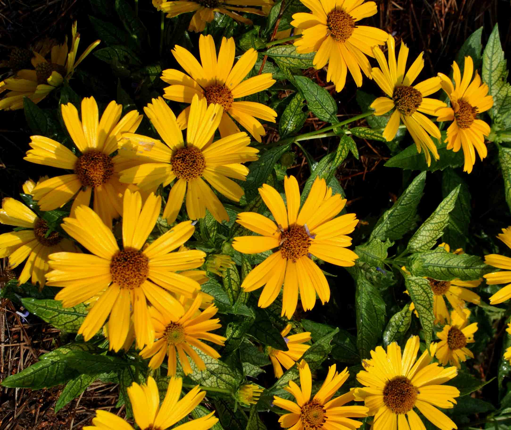 """'Sunstruck' heliopsis grew to a mere 6 inches in height. Its leaves are variegated and they accentuate the large yellow flowers well. These plants withstood our heat and humidity and performed beautifully."""