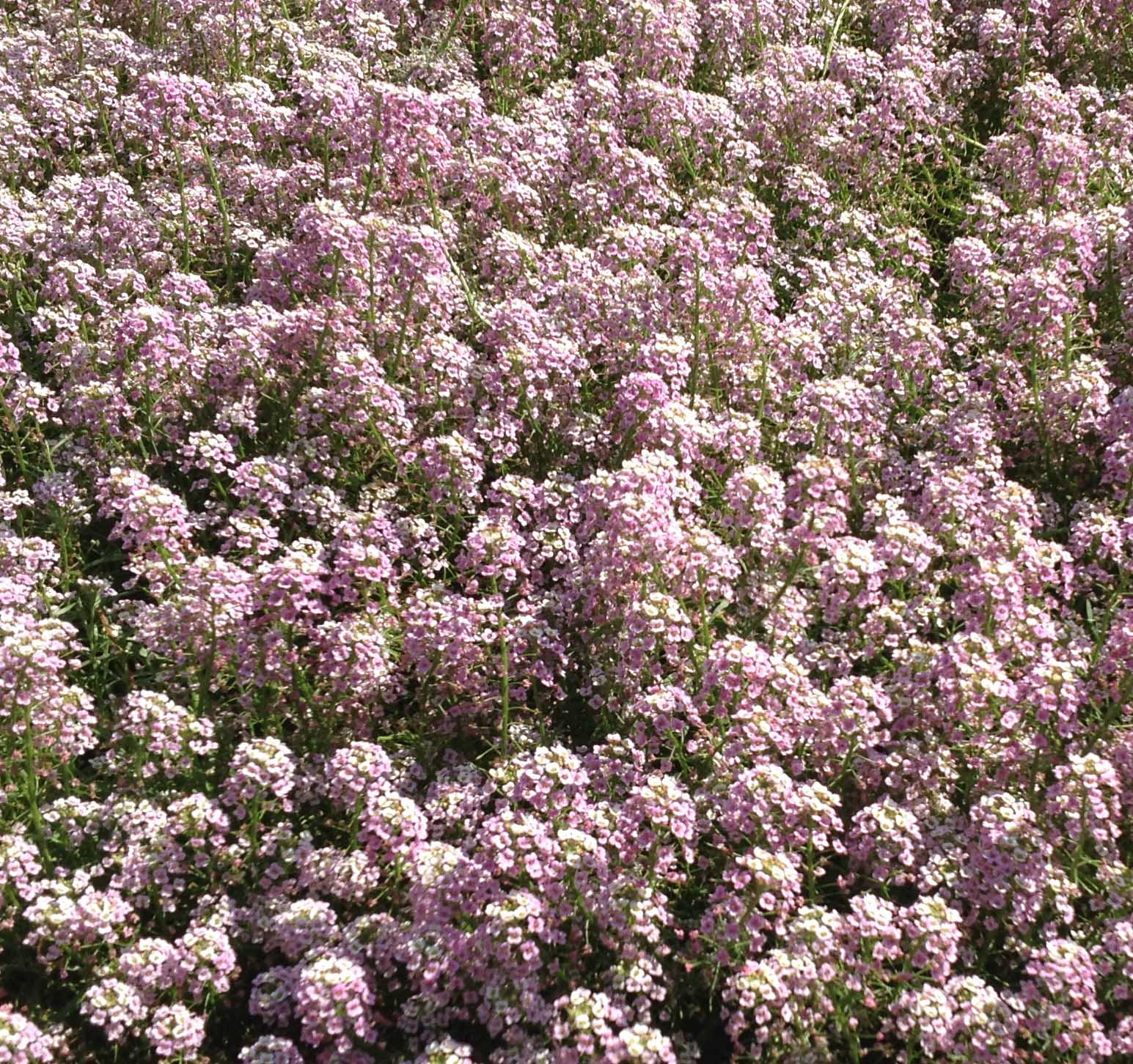 """Month after month, 'Bicolor Pink Stream' displayed its beauty and perfumed its environment, never surrendering to the Georgia heat. This alyssum is truly an extraordinary cultivar."""