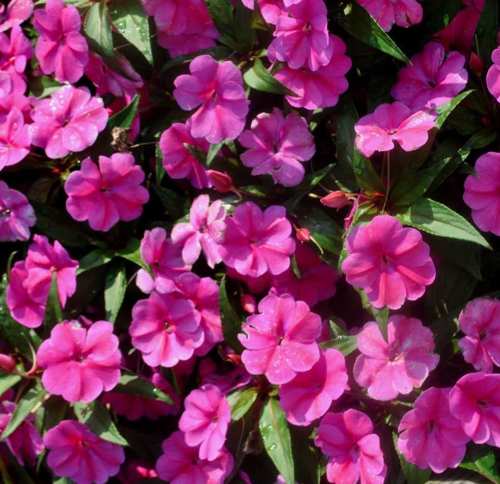 """This year was a great one for our New Guinea impatiens. So many cultivars performed extraordinarily well, including the series Big Bounce and Bounce. In particular, 'Bounce Pink Flame' grew tall, but never lodged (or bent.)"""