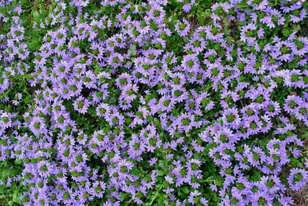 """This fan flower amazed us with its perfection throughout the summer. 'Scalora Amethyst' was another cultivar that was obviously a winner from early in the summer. The plants easily grew into a mat of blue blooms atop its foliage."""