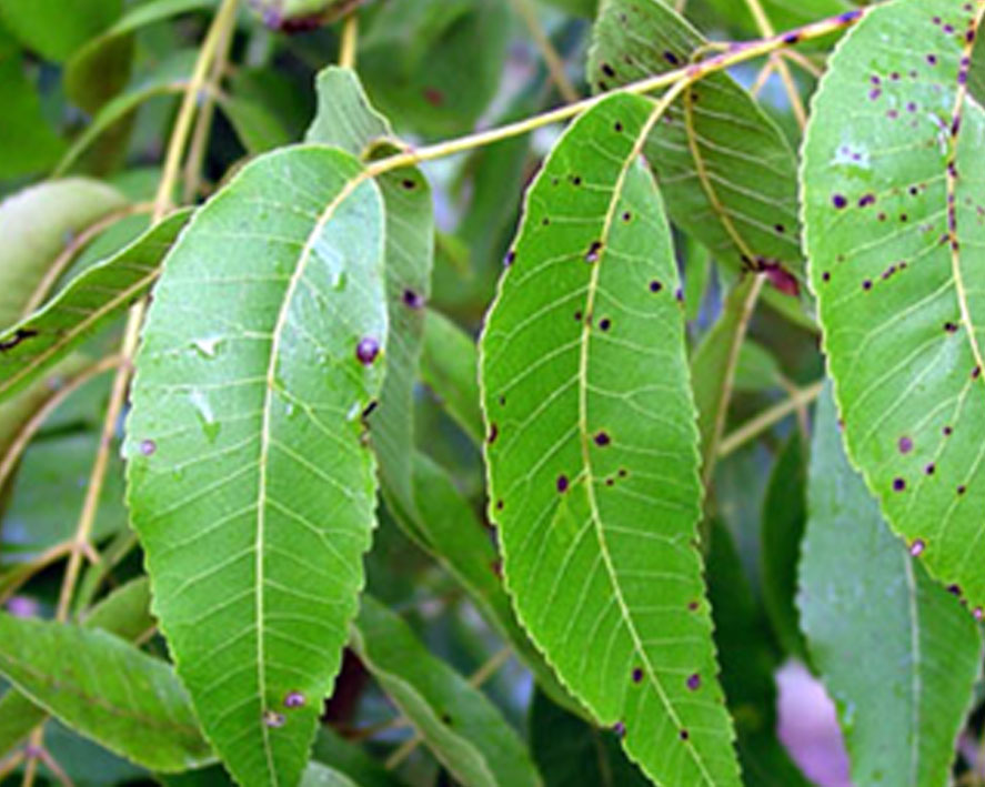 Pictured are pecan leaves that were affected by scab disease.