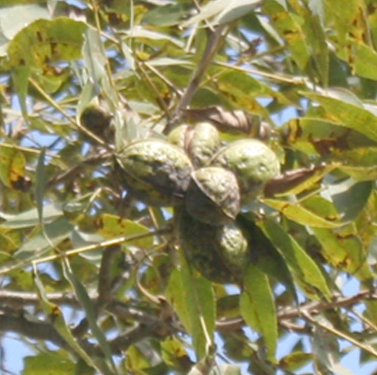 Pecans in a tree on the UGA Ponder Farm in Tifton, Ga.