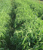 Millet and sunn hemp are shown growing side by side on a University of Georgia research farm.