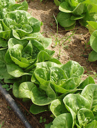 Lettuce, a high-value cash crop, was among the highest yielding crops in a University of Georgia organic trial incorporating cover crops into a high-intensive crop rotation model at a UGA farm in Watkinsville, GA. The crop yielded a net return of over $9,000 per acre over the three-year study period.