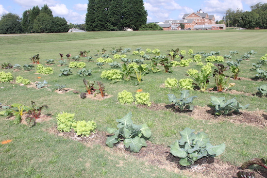 University of Georgia scientists on the Griffin campus are studying ways to plan fall vegetables directly into turfgrass lawns. The researchers hope to find a way to help suburbanites plant vegetables gardens and enjoy their lawns.