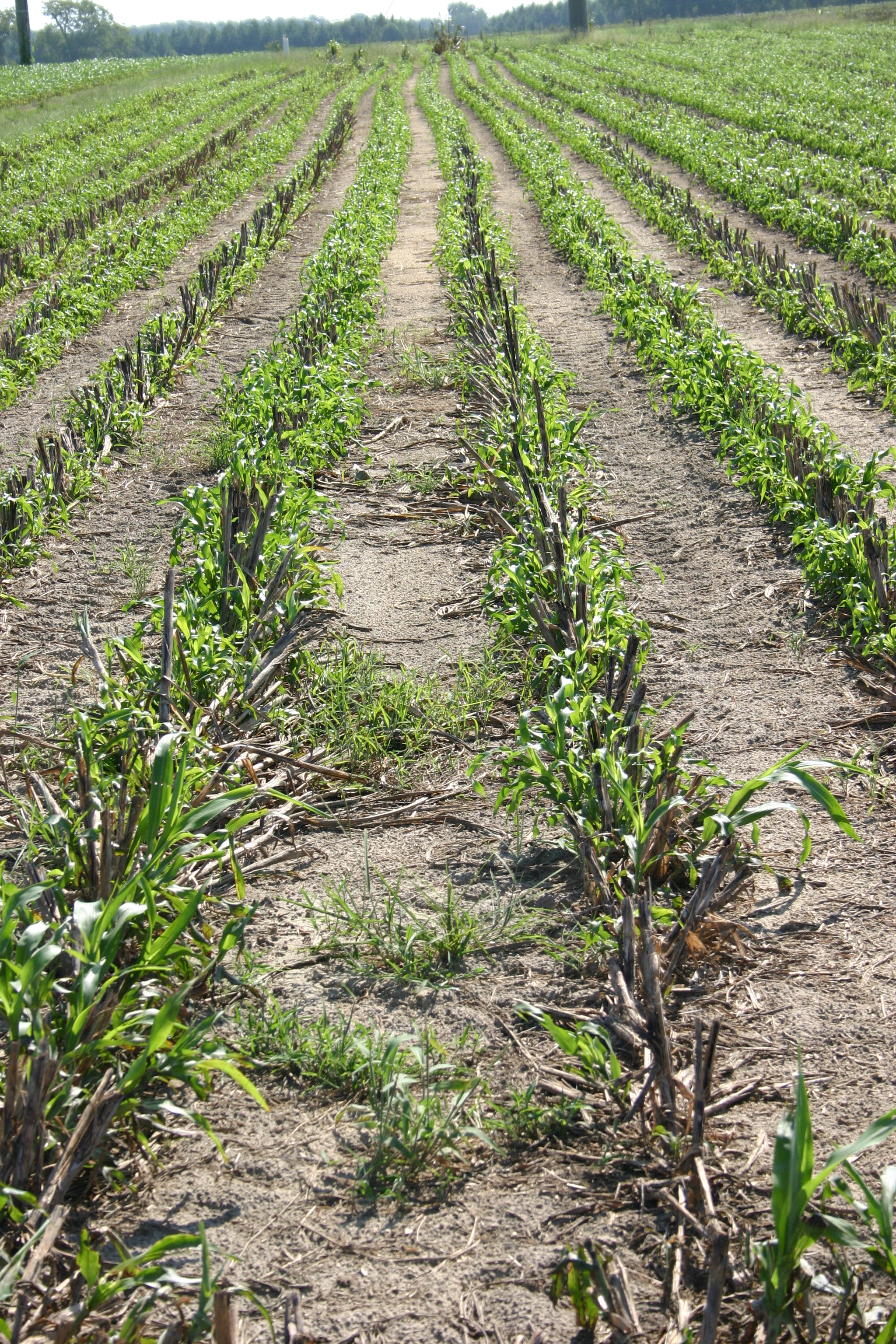 Rows of forage sorghum regrowth after the first cutting.