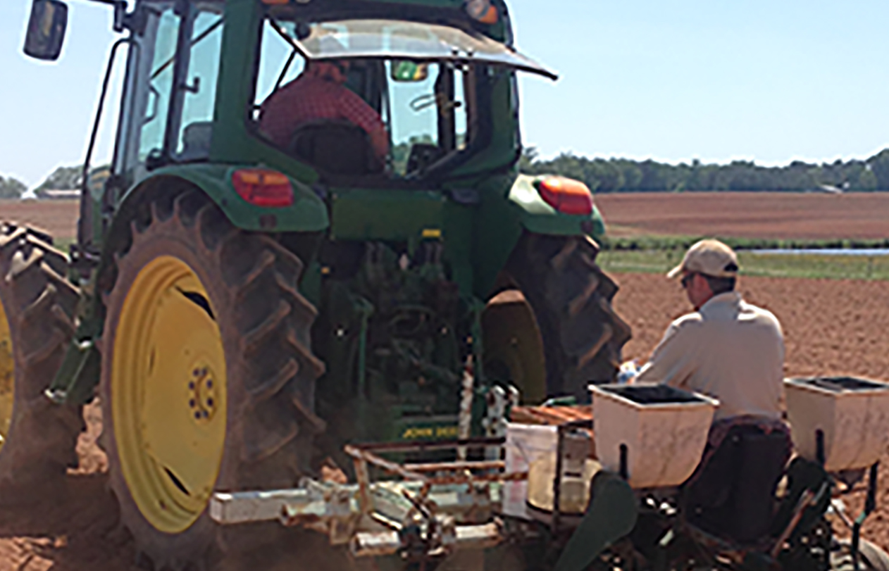 Cotton is one of the many crops that the UGA Statewide Variety Testing Program does research on every year.