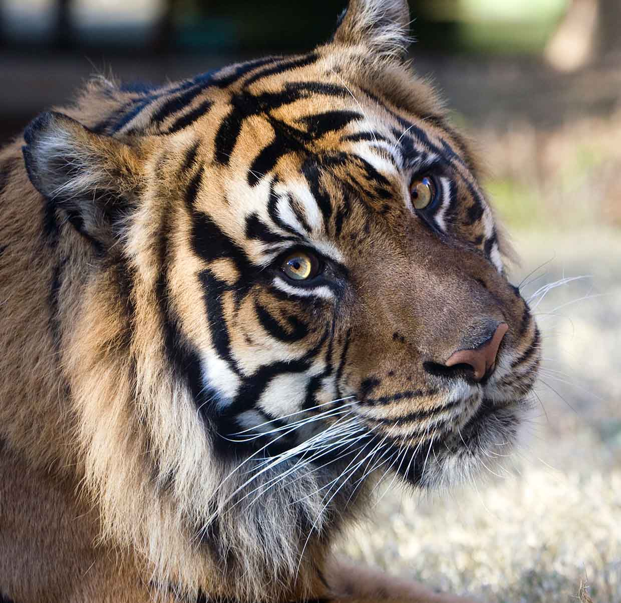 Kavi, a 13-year-old male Sumatran tiger, traveled back to Zoo Atlanta in March 2014 after nearly two years at Smithsonian's National Zoological Park. (