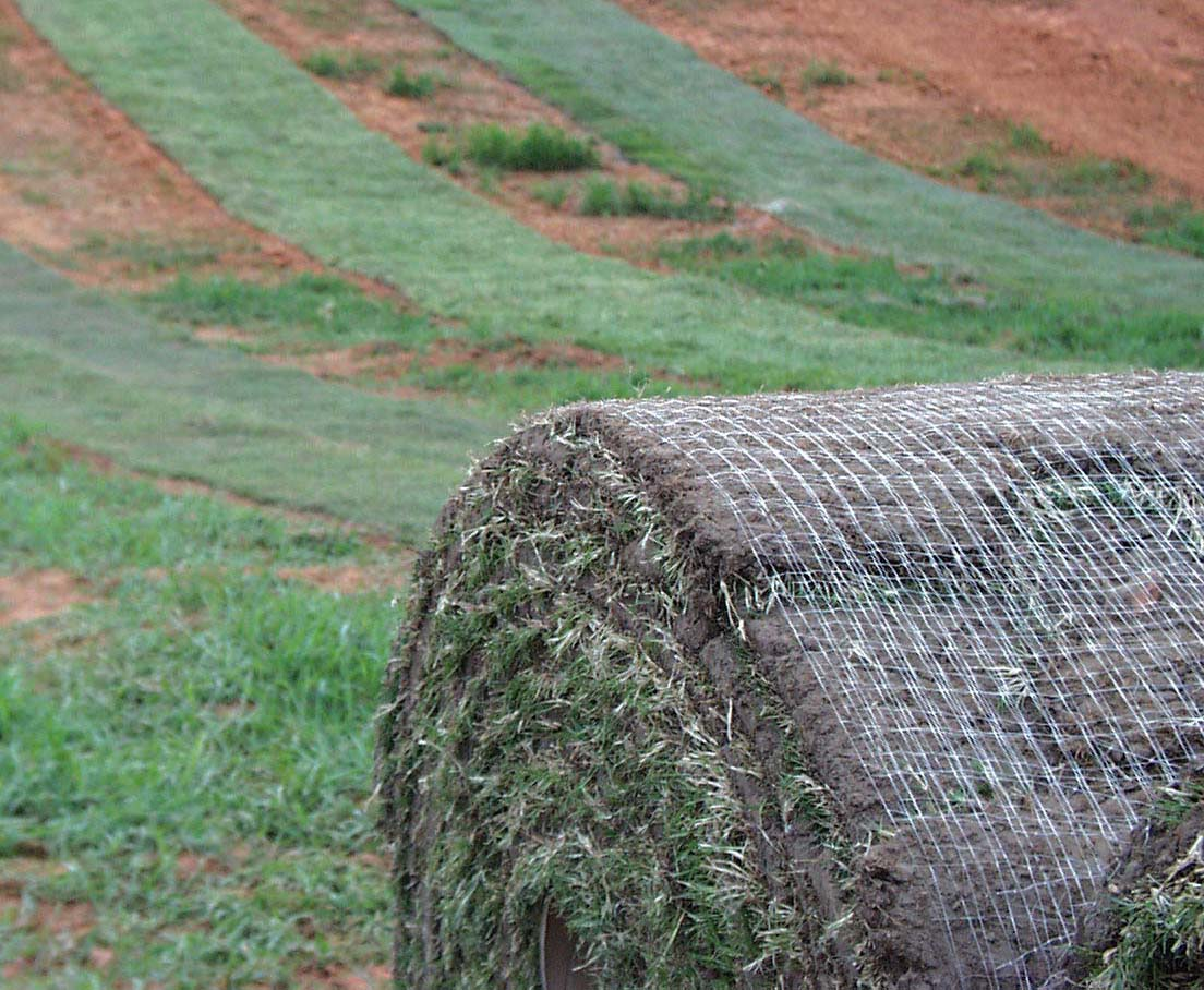 Before rolling new sod on your lawn, University of Georgia experts urge homeowners to inspect the turfgrass for insects, diseases and weeds.