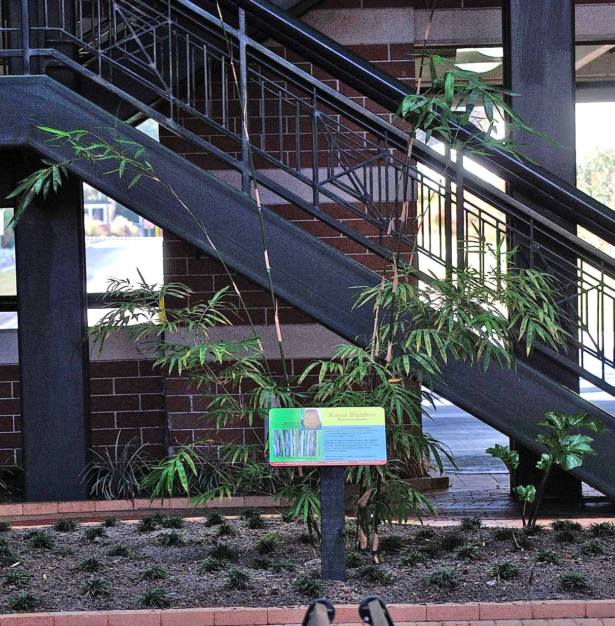 This small planting of Royal Bamboo at the Savannah/Hilton Head International Airport's atrium garden should fill its planting bed within a few years. It is one of the 9 varieties of bamboo donated to the airport by the Coastal Georgia Botanical Gardens at the Historic Bamboo Farms