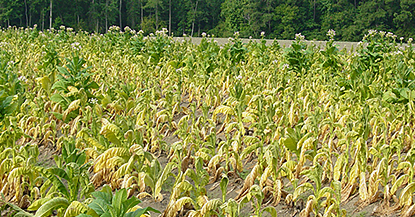 Pictured is a tobacco field in Coffee County that was affected by black shank disease.
