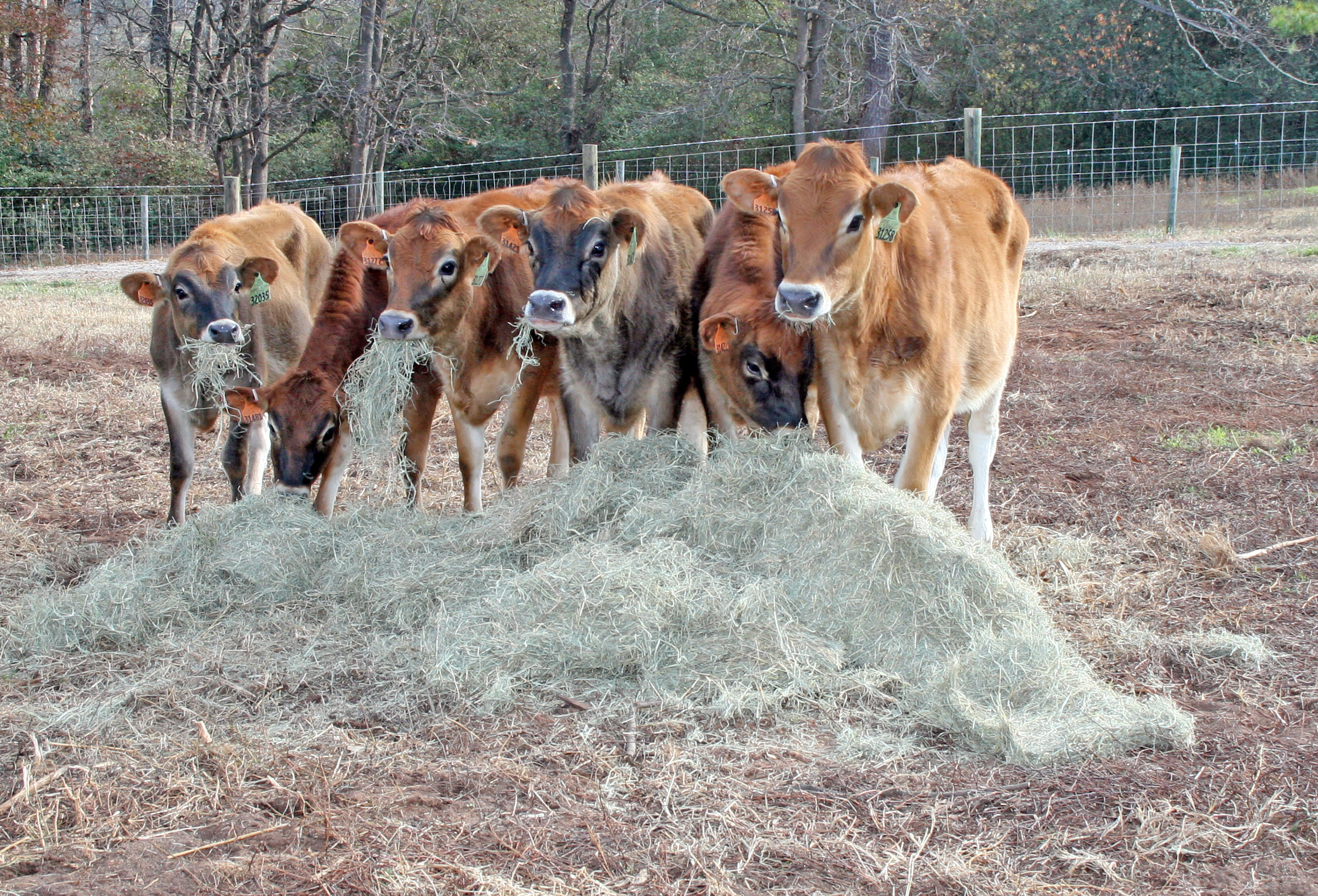 The UGA Teaching Dairy welcomed six Jersey heifers in early December. The cattle were a gift from 1985 CAES Animal and Dairy Science graduate C.A. Russell, owner of the Yosemite Dairy in California.