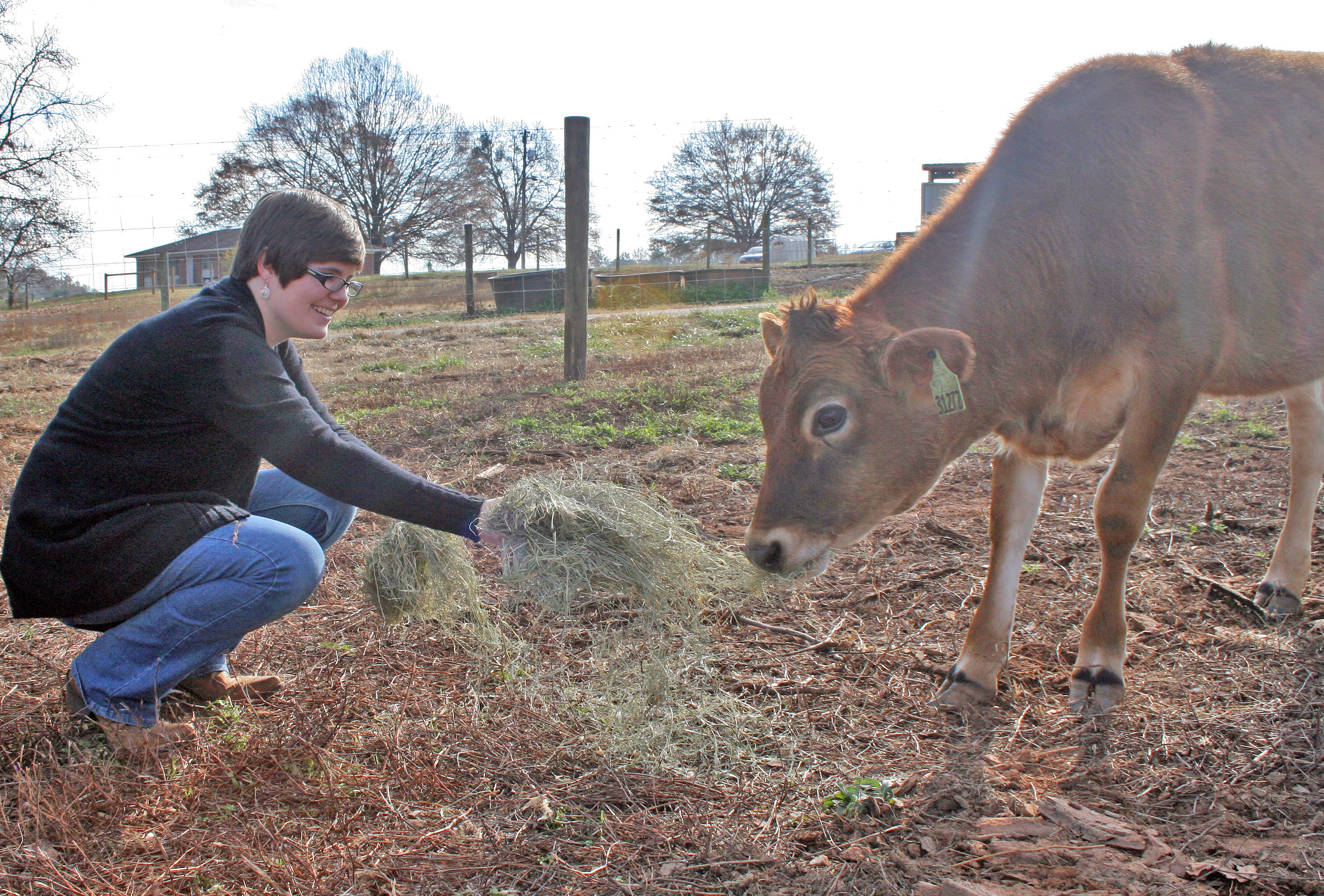 Animal and Dairy Sciences major Amy Harding offers hay to one of the UGA Dairy Teaching Dairy's new Jersey heifers.