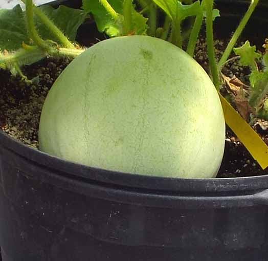 Organic Melon 1