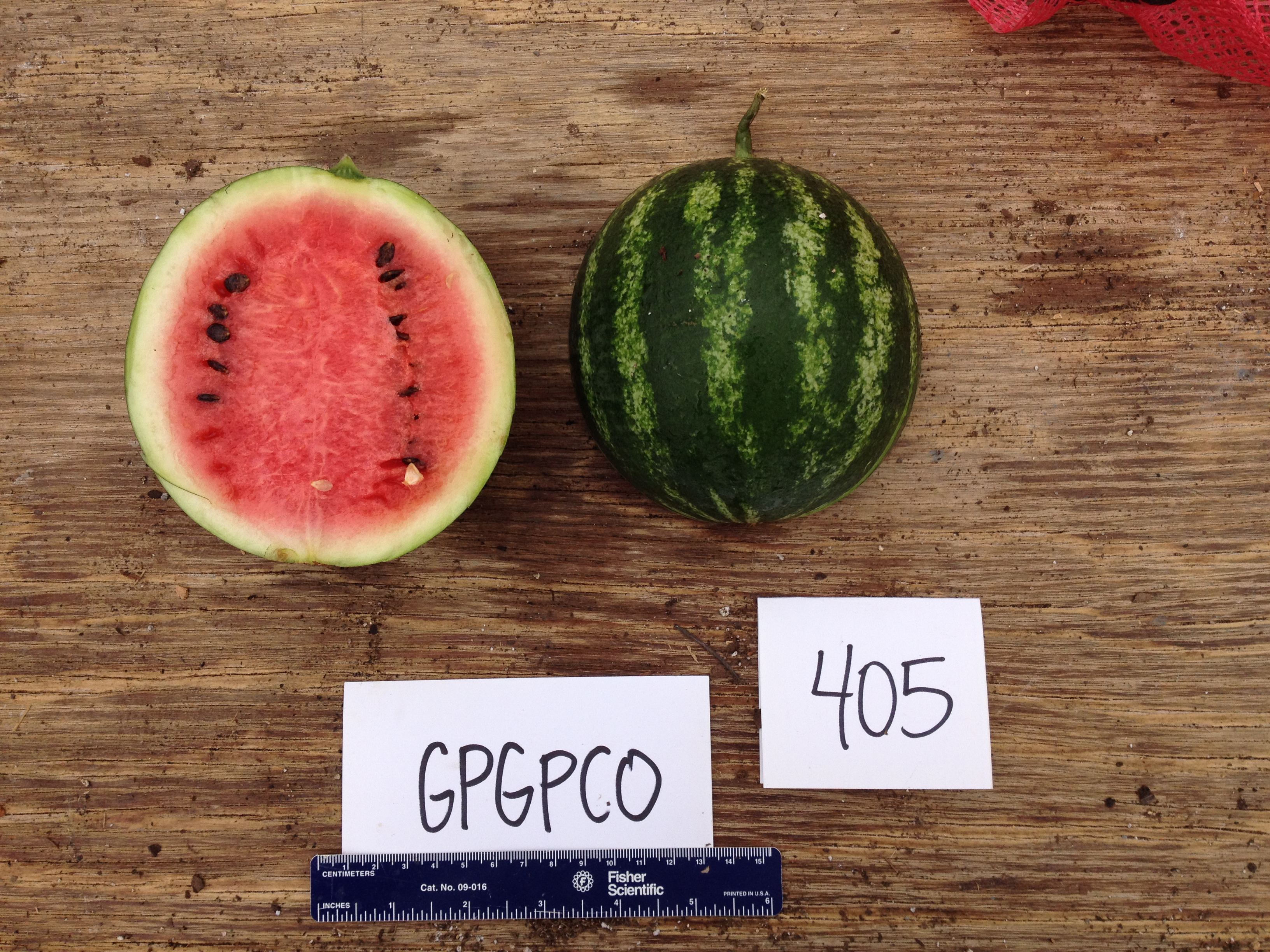 Another contender in UGA graduate student Suzanne Stone's quest to breed a variety of watermelon that works well for organic growers. She is working on producing personal-sized watermelons that have a striking flavor and eye-catching appearance.